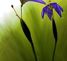 Blue-Eyed Grass by T.J. Martin