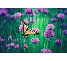 Chive Blossoms Photographic Print