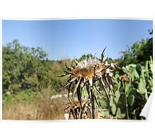 Dry milk thistle in summer Photographed in Israel in July Poster