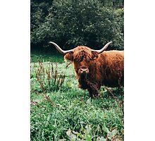 Scottish Cattle Photographic Print