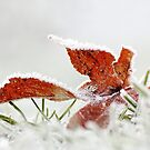 Frosted Maple Leaf by Tracy Friesen