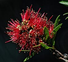 Kunzea or Bottle brush flower Leith Park Victoria 201511090664   by Fred Mitchell
