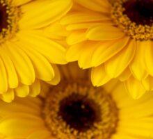 Yellow Gerbera Macro Sticker