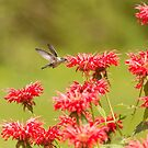 Rubythroated Hummingbird 2014-5 by Thomas Young