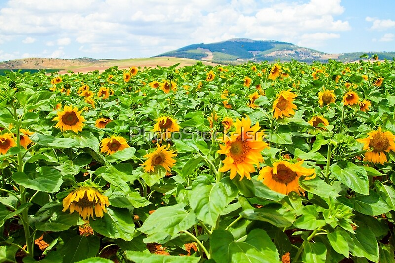 Blooming sunflowers in a field photographed in israel in may