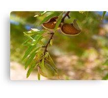 Almond Harvest - Ripe Almonds On A Tree Branch Canvas Print