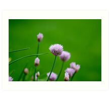 Macro Chive Blossoms 1 Art Print