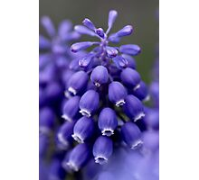 Macro Grape Hyacinth 1 Photographic Print