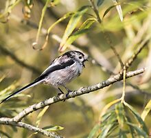 Long-tailed Tit Calling by Ashley Beolens