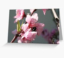 Unidentified Winged Insect On Peach Tree Blossom Greeting Card