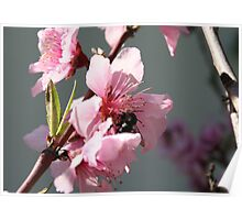 Unidentified Winged Insect On Peach Tree Blossom Poster