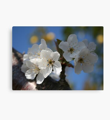 Close Up Of White Cherry Blossom Flowers Canvas Print