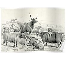 A prize herd - Currier & Ives - 1881 Poster