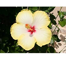 Pale Yellow Hibiscus Flower - Front View Photographic Print