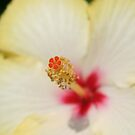 Stamen With Yellow Hibiscus Petal Background by taiche
