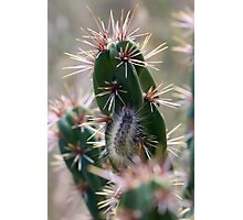 Fuzzy Caterpillar on a Cactus 1 Photographic Print
