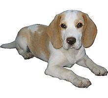 Cute Beagle Photographic Print