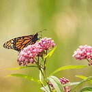 Monarch On Swamp Milkweed 2014-1 by Thomas Young