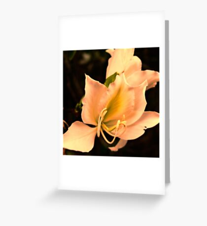 Bauhinia  with sunset glow Greeting Card