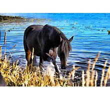 Percheron Thoroughbred Horse Artwork Photographic Print