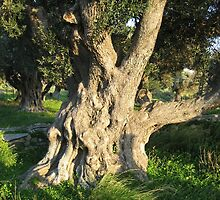 An Old Olive Tree by taiche