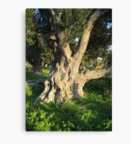 An Old Olive Tree Canvas Print