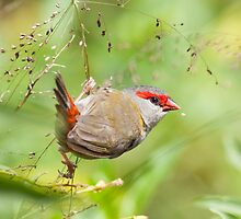 Red-Browed Finch by Belle Farley