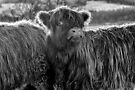 Highland Cow in Scotland by Jeremy Lavender Photography