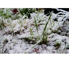 Green grass covered in snow Photographic Print