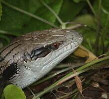 Blue Tongue Lizard In The Undergrowth by reflector