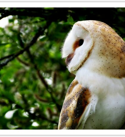 British Barn Owl Sticker