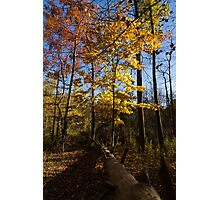 Of Fall and Fallen Giants - Autumn Forest in the Sunshine Photographic Print