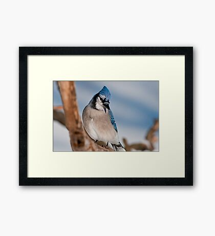 Blue Jay Framed Print