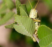 Grasshopper Spying by ReidSmith
