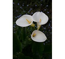 Lily of the Nile Photographic Print