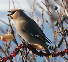 Bohemian Waxwing With A Blueberry by akaurora