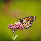 Monarch On Swamp Milkweed 2014-2 by Thomas Young