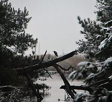 Heron Perched on Log by searchlight