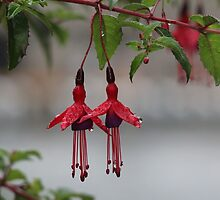 Pair of Fuschia Flowers After the Rain by hummingbirds