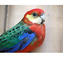 Western Rosella Australia Birds Photographic Print