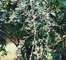 Blueberries by ImogenMosher