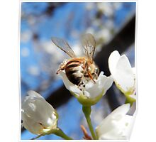 HONEY BEE ON A BLOSSOM (13) Poster