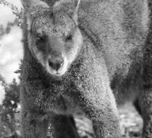 Wallaby. by Bette Devine