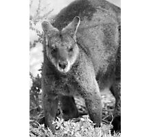 Wallaby. Photographic Print