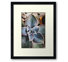 close up of succulent Framed Print