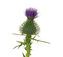 Thistle Flower Photographic Print
