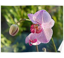 Winter orchid in the morning light Poster