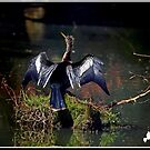 Anhinga Drying Its Wings by TJ Baccari Photography