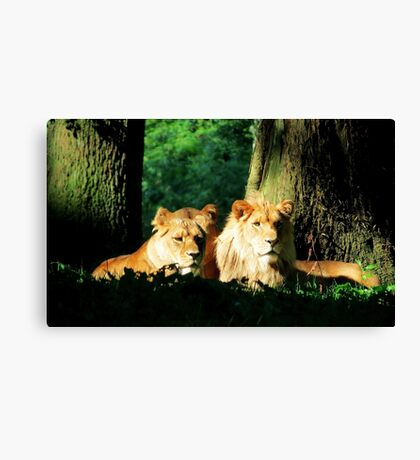 Lion in the sunshine Canvas Print