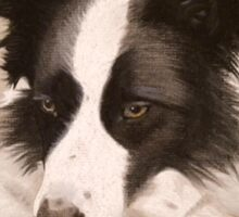 Mia the stunning Border Collie Sticker